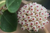 Hoya_acuta-RB-Mini-